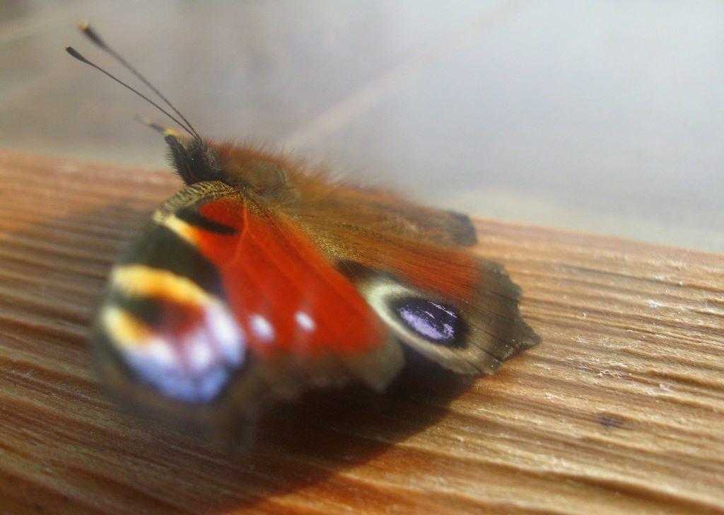 Motyl przedprzedwiosenny